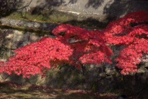 秋の倉敷美観地区、川沿いの紅葉