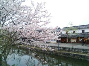 春の桜が舞い散る倉敷美観地区